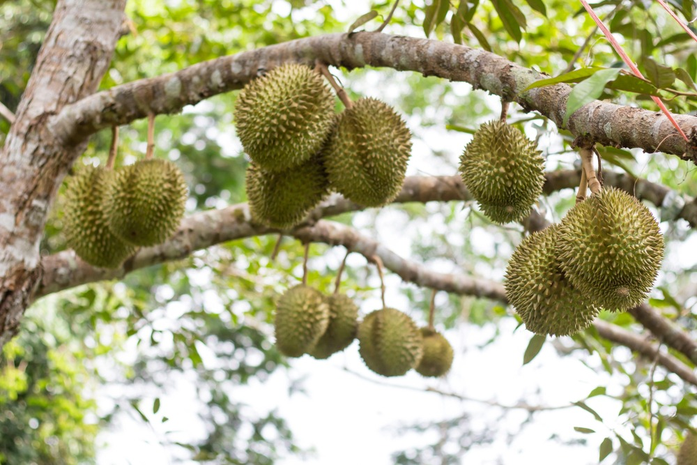 Where Do Our Durians Come From?